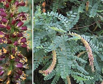 Amorpha californica