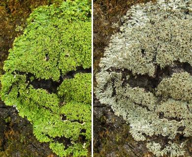 Anaptychia palmulata