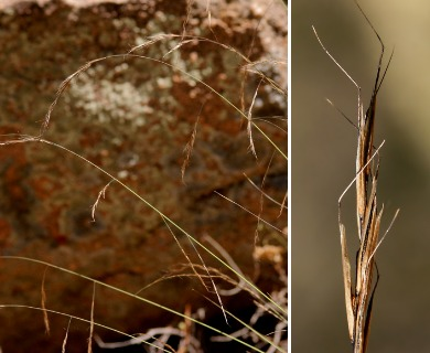 Aristida schiedeana