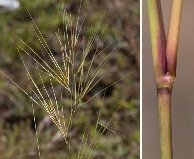 Aristida tuberculosa