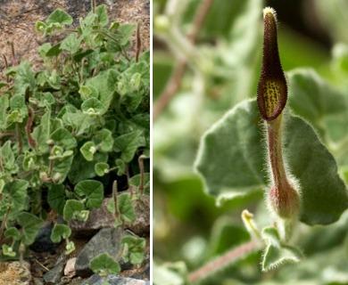 Aristolochia wrightii