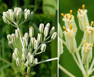 Arnoglossum plantagineum