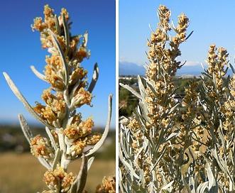 Artemisia cana