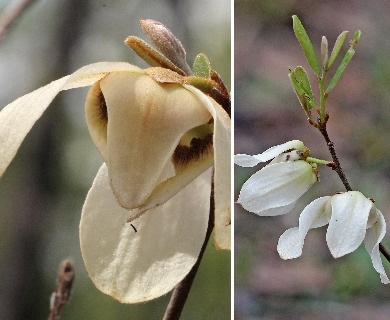 Asimina reticulata