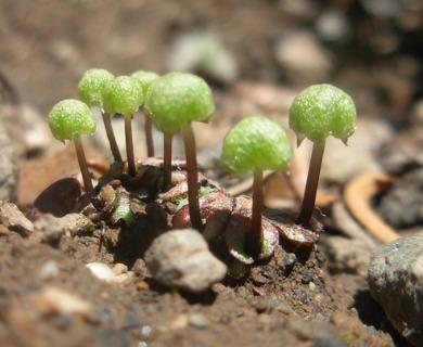 Asterella gracilis