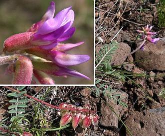 Astragalus hallii