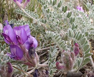 Astragalus inflexus