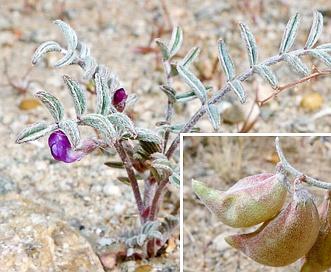 Astragalus insularis