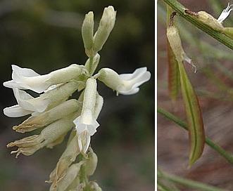 Astragalus lonchocarpus