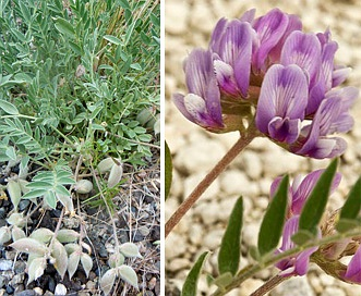 Astragalus lotiflorus