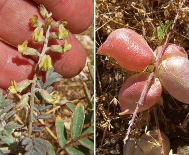 Astragalus macrodon