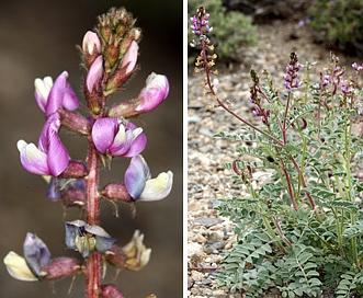 Astragalus minthorniae