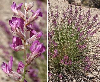 Astragalus moencoppensis