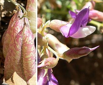Astragalus oophorus