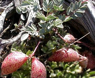 Astragalus platytropis