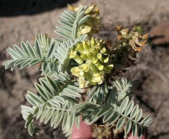 Astragalus pycnostachyus