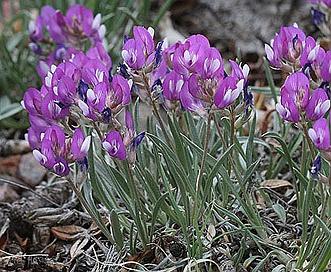 Astragalus spatulatus