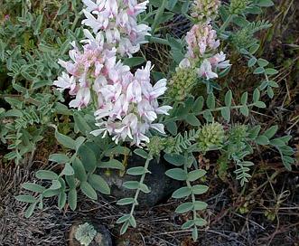 Astragalus succumbens
