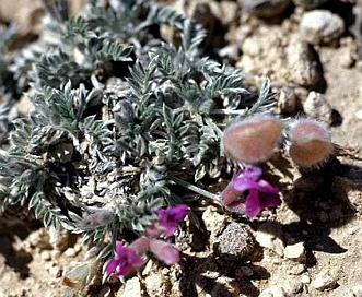 Astragalus tetrapterus