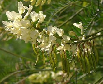 Astragalus trichopodus
