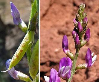 Astragalus wingatanus