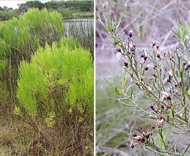 Baccharis angustifolia