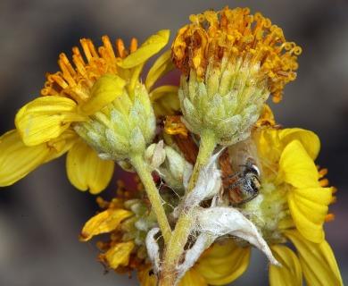 Bahiopsis reticulata