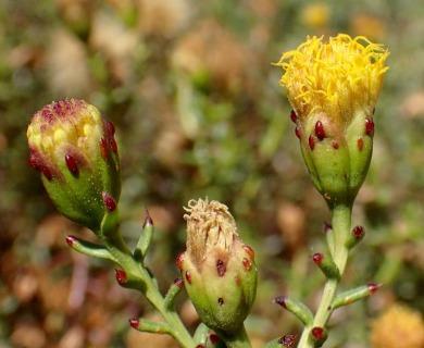 Bajacalia crassifolia