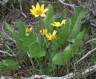Balsamorhiza careyana