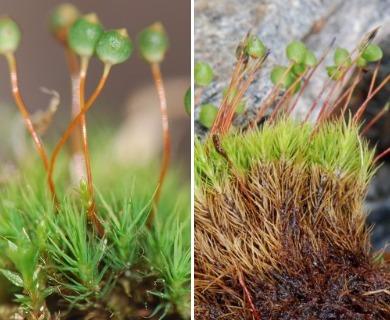 Bartramia ithyphylla