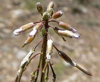 Boechera pendulocarpa