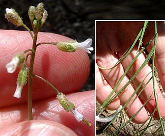 Boechera pinetorum