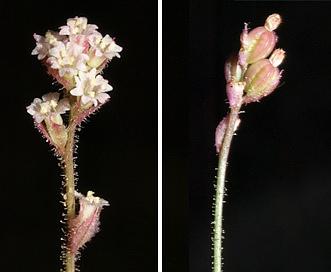 Boerhavia wrightii