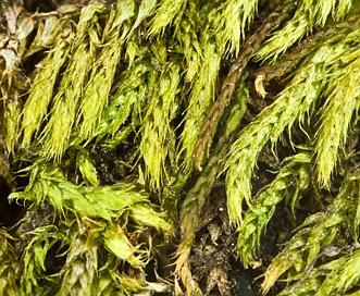 Brachythecium acuminatum