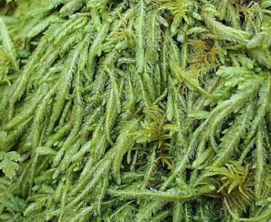 Buckiella undulata