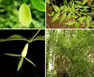 Buckleya distichophylla
