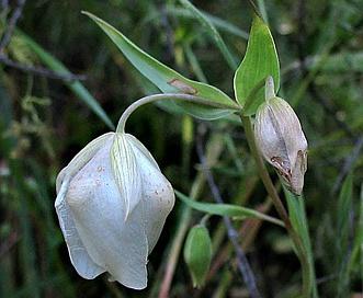 Calochortus albus