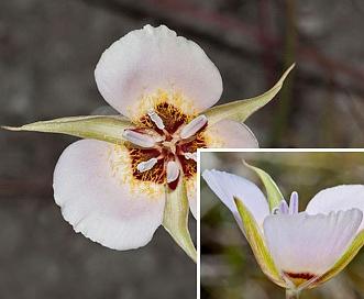 Calochortus palmeri