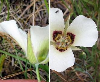 Calochortus umpquaensis
