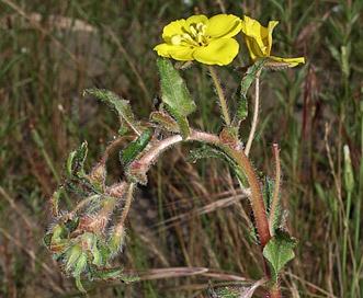 Camissoniopsis bistorta