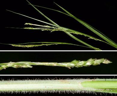 Carex aestivalis