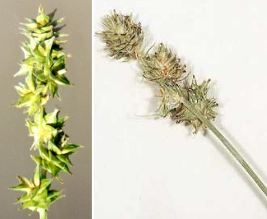 Carex aggregata