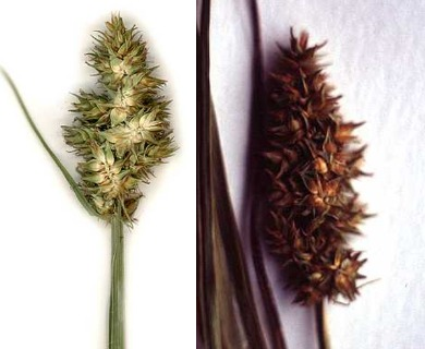Carex alopecoidea