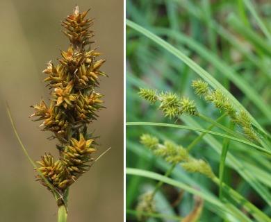 Carex arcta