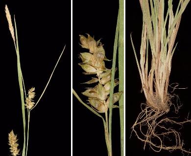 Carex conoidea