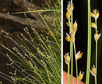 Carex disperma