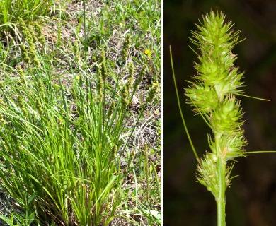 Carex fissa