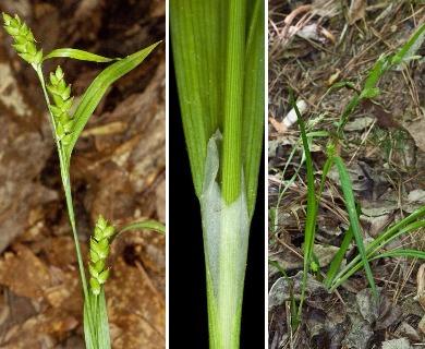 Carex flaccosperma