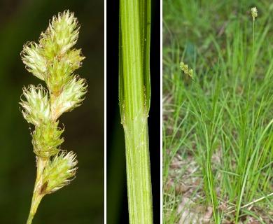 Carex foenea