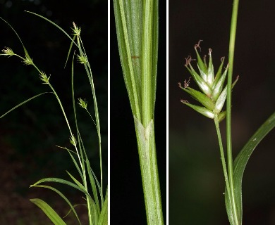 Carex folliculata